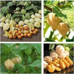 Chinese lantern plant vegetable seed,   vegetable