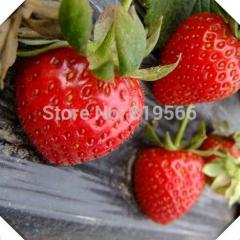 500 pcs Red Fruit Seeds Strawberry home indoor