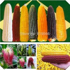 200g White Red Black Yellow Corn fruit and