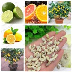 Lemon Tree Seeds High survival Rate Fruit Seeds