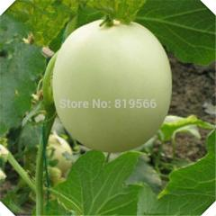 10 pcs Sugar Jar White chamoe Fruit Seeds indoor