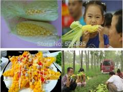(maize)Fruit corn, pineapple fruit corn, can be