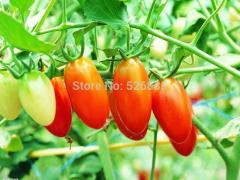 Red cherry tomatoes seeds, small tomato