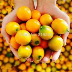 Real chinese kumquats fruit seeds 100pcs jinju