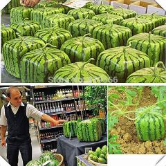 Limited Japanese Big Square Watermelon Fruit Seeds