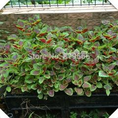 100pcs Amaranth vegetables seeds Amaranthus