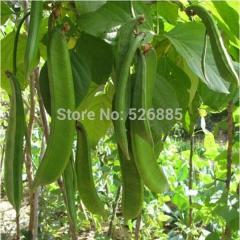 Brazilian beans, knife bean seeds, ornamental