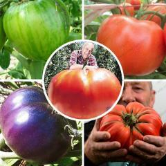 Rare raksasa tomat seeds red and purple giant