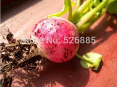 Colorful radish seeds, radish seeds, radish