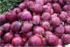 Free shipping onion seeds,non-transgenic green