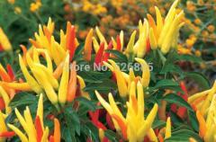 Ornamental pepper, Multicolored peppers, chili