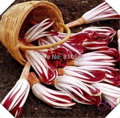 250g Red Cichoriin vegetables seeds radicchio