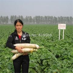 50pcs White Radish fruit and Vegetables Seeds