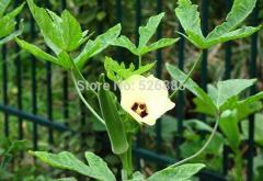 Abelmoschus esculentus , Okra seeds,  tonic to