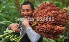 Gaoliang seeds Red Sorghum seed, Chinese sorghum,