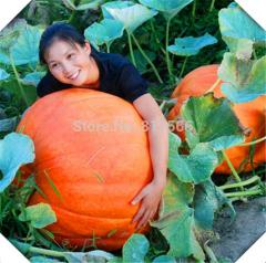 5pcs Huge Pumpkin vegetables seeds gourd indoor