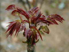 (chinese  toon)Marked Toon, Toona sinensis,