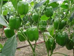 Green bell pepper, sweet pepper seeds, vegetable