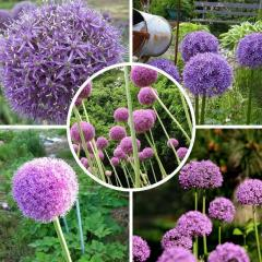 Rare flower Allium seeds Giant Onion (Allium