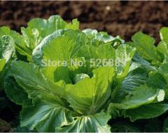 Free Shipping White Mustard Seeds,Leaf Mustard