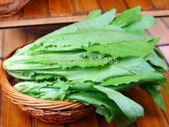 Garden lettuce, lettuce, Bitter herbs seasonal