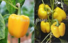 Yellow bell pepper, sweet pepper seeds, Pepper