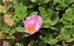 Purslane seeds, Portulaca oleracea, wild Purslane