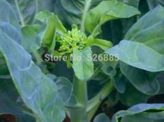 Chinese kale, kale seed, Brassica alboglabra