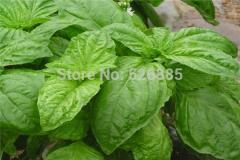 Basil Seeds,Ocimum basilicum,Easy to grow