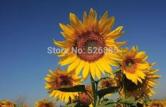 Free shipping Helianthus annuus,oil sunflower