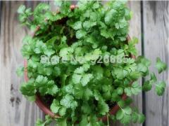 Four Seasons parsley, coriander seeds,  vegetable
