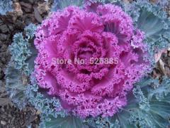 Kale, cabbage, leaf peony hardy vegetable seeds -
