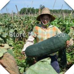 Sale Green 50pcs Benincasa Hispida vegetables