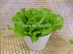 Lettuce seeds for sale cheap,garden lettuce,Easy