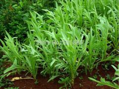 Qu Ma vegetables, endive, common sowthistle - 100