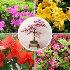 Rhododendron seeds, flower seeds home bonsai