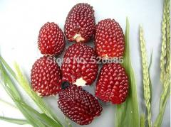 Red fruits of corn seeds, fruits corn, vegetable