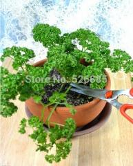 Parsley, Petroselinum crispum, parsley seed  - 30