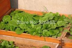 Malabar Spinach seeds, Gynura cusimbua, red