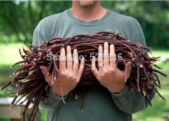 Red cowpea Seeds,cowpea Seeds,vegetables