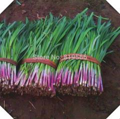 40pcs Chinese Purple Root Leek vegetables seeds