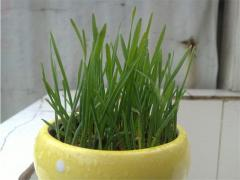 Organic wheat grass seeds, potted cat grass seeds,