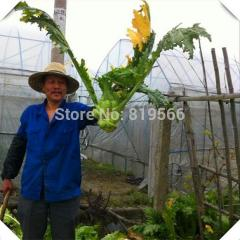 50pcs Chinese Preserved Mustard vegetables seeds