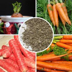 Vegetable seed carrots carrot seeds 100% real