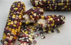 Free shipping corn seed,multicolored corn,sweet