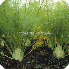 50pcs Chinese Fennel vegetables seeds indoor home