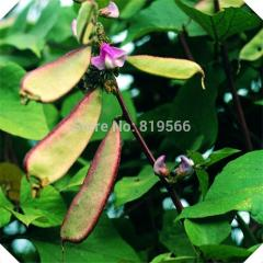 10pcs Chinese Lablab purpureus Sweet beans
