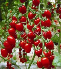 Milk red tomato seeds, cherry tomatoes, tomato