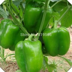 20pcs Green Bell Peppers vegetables seeds Sweet