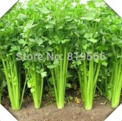 100pcs Celery vegetables seeds indoor home bonsai